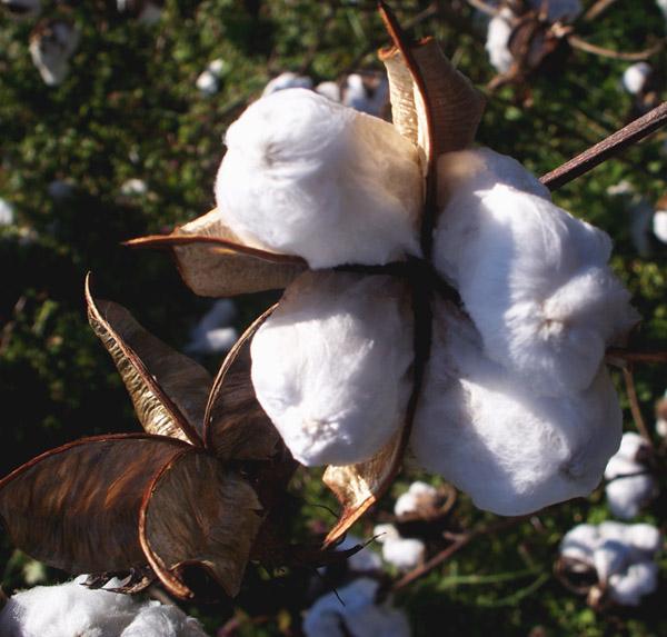 cotton004